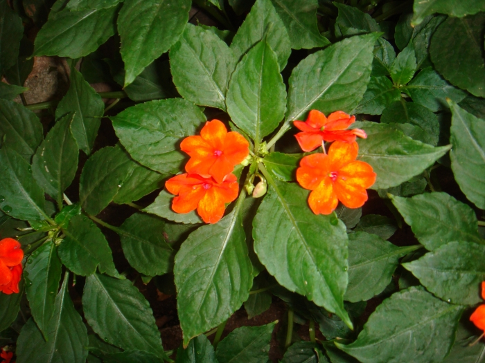 Orange Balsam Flowers Photos