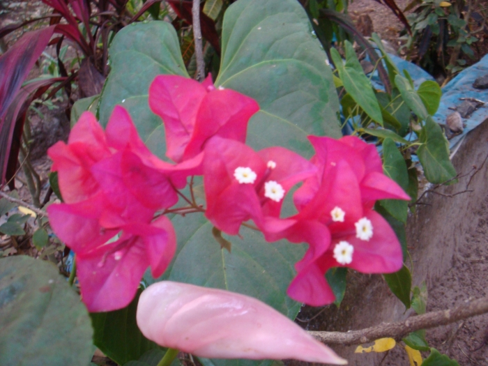 Pink bougainvilla flowers